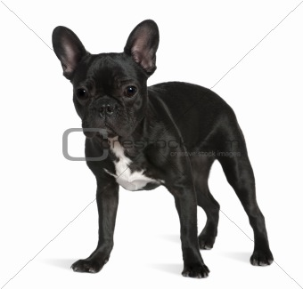 French bulldog, 8 months old, standing in front of white backgro