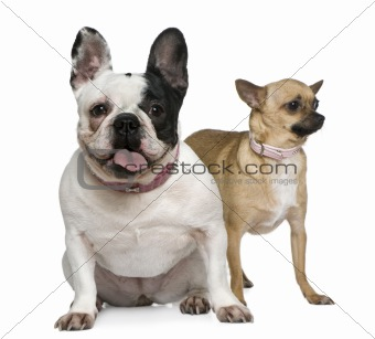 French bulldog and Chihuahua, 4 years old, in front of white bac