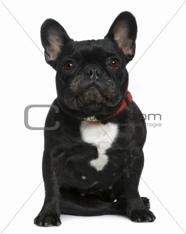 French bulldog, 7 years old, sitting in front of white backgroun