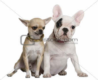 French bulldog and Chihuahua, 5 months old and 1 and a half year