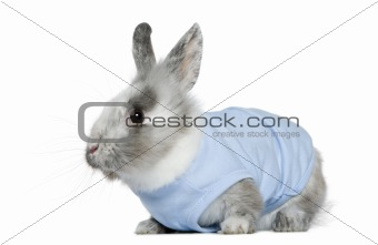 Dressed dwarf rabbit, 3 months old, in front of white background