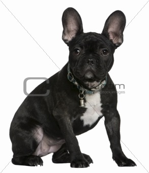 French bulldog puppy, 4 months old, sitting in front of white ba