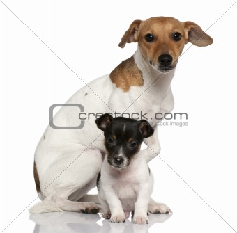 Adult and puppy Jack Russell Terrier sitting in front of white b