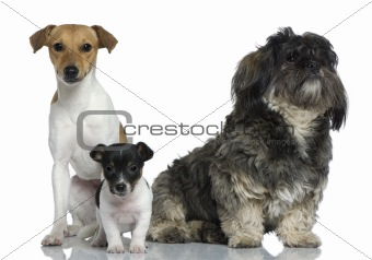 Adult and puppy Jack Russell Terrier with Shih Tzu sitting in fr