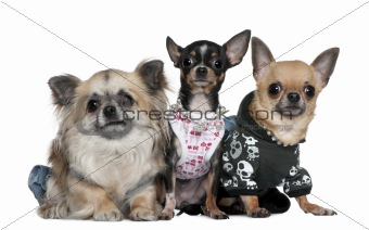 Group of Chihuahuas dressed up, 3 and 2 years old, in front of w