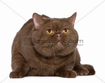 British shorthair cat, 4 years old, in front of white background