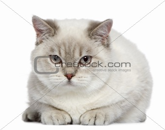 British shorthair cat, 7 months old, in front of white backgroun