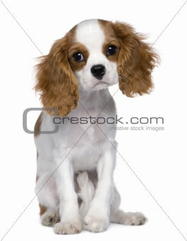 Cavalier King Charles Spaniel, 5 months old, sitting in front of