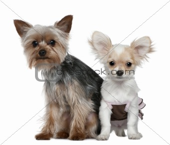 Chihuahua puppy and Yorkshire terrier, 4 months and 1 year old,