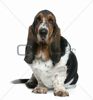 Basset hound, 2 years old, sitting in front of white background