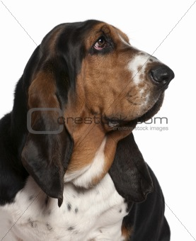Close-up of Basset hound, 2 years old, in front of white backgro