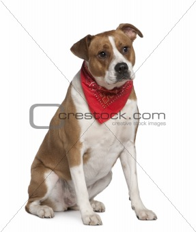 American Staffordshire terrier wearing handkerchief, 5 years old