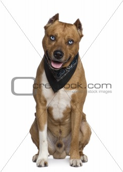American Staffordshire terrier wearing handkerchief, 2 years old