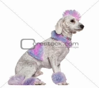 Groomed poodle with pink and purple fur and mohawk, 1 year old,