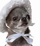 Dressed Chihuahua wearing a hat, 7 years old, in front of white
