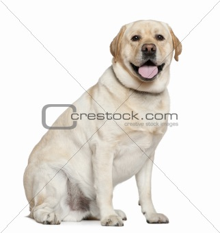 Labrador Retriever, 2 and a half years old, sitting in front of
