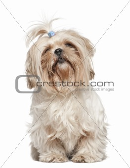 Shih Tzu, 4 years old, in front of white background