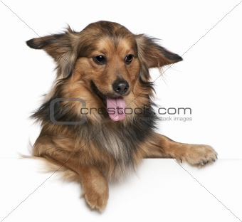 Dachshund, 6 years old, in front of white background
