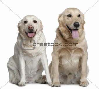 Two Labrador retrievers, 4 years old, sitting in front of white