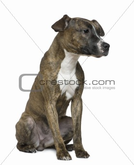 American Staffordshire Terrier, 9 months old, sitting in front o
