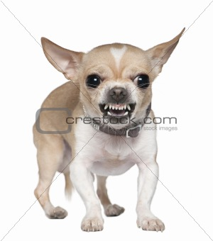 Angry Chihuahua growling, 2 years old, in front of white backgro