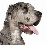 Close-up of Great Dane, 1 year old, in front of white background