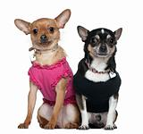 Two dressed Chihuahuas, 9 years old and 18 months old, sitting i