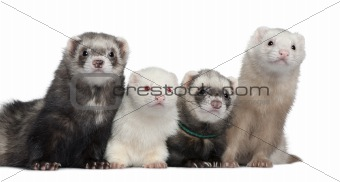 Group of four ferrets, 5 years, 6 years, 3 years, 1 years old, i