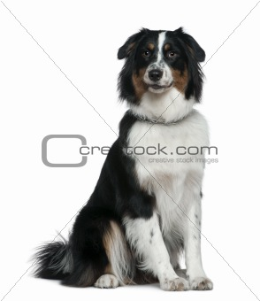 Australian Shepherd dog, 1 year old, sitting in front of white b