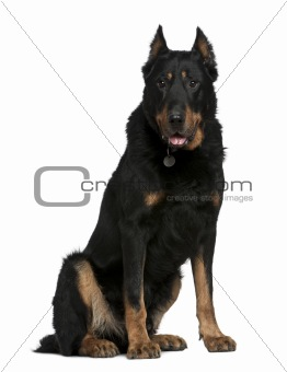 Beauceron dog, 10 years old, sitting in front of white backgroun