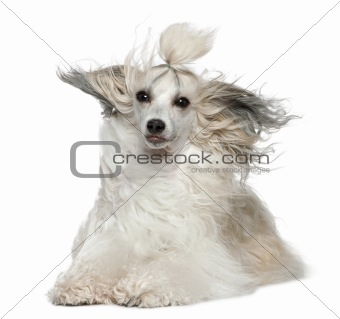 Chinese Crested Dog with hair in the wind, 2 years old, in front