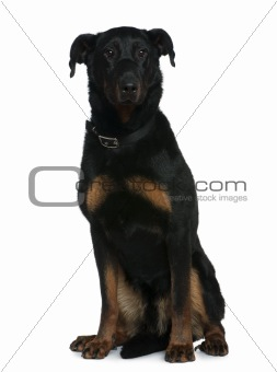 Beauceron dog, 3 and a half years old, sitting in front of white