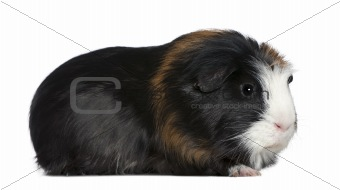 Guinea pig, 1 and a half years old, in front of white background
