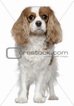 Cavalier King Charles Spaniel, 4 years old, standing in front of