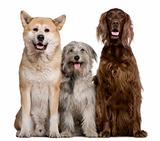 Irish Setter, Akita Inu and Pyrenean Shepherd dog, 4 years, 5 ye