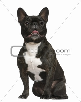 French bulldog, 3 years old, sitting in front of white backgroun