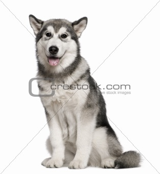 Alaskan Malamute, 4 months old, sitting in front of white backgr