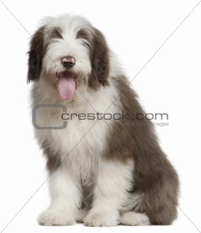 Bearded Collie, 4 and a half months old, sitting in front of whi