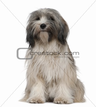 Tibetan Terrier, 1 year old, sitting in front of white backgroun