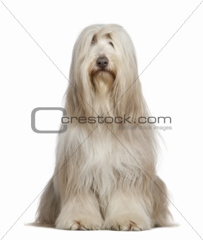 Bearded Collie, 6 years old, sitting in front of white backgroun