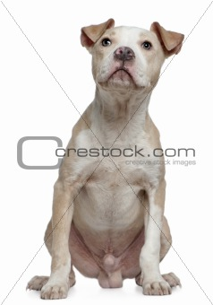 American Staffordshire Terrier, 8 months old, sitting in front o