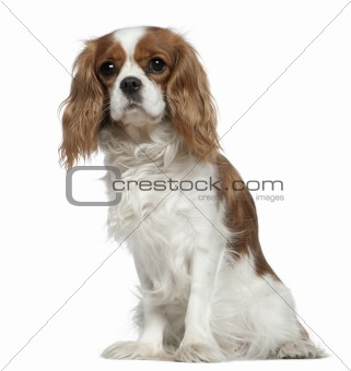 Cavalier King Charles Spaniel, 2 years old, sitting in front of