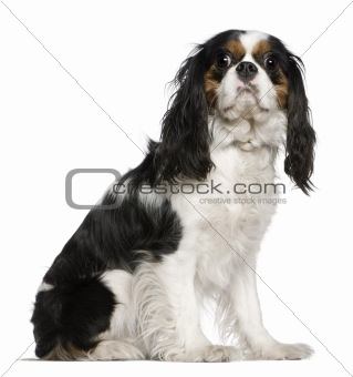 Cavalier King Charles Spaniel, 3 years old, sitting in front of
