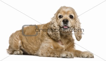 American Cocker Spaniel, 8 years old, lying in front of white ba