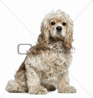 American Cocker Spaniel, 3 years old, sitting in front of white