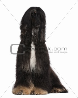 Afghan Hound, 4 years old, sitting in front of white background