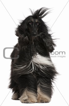 Afghan Hound with his hair in the wind, 4 years old, sitting in