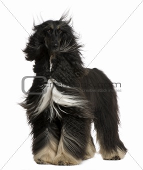 Afghan Hound with his hair in the wind, 4 years old, standing in