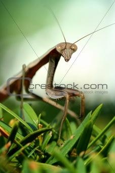 Praying mantis on a bush macro