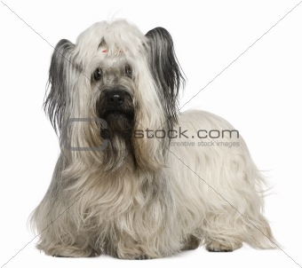 Skye Terrier, 3 and a half years old, in front of white backgrou